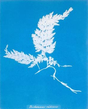 Anna Atkins. Trichomanes Radians (Common Maidenhair Fern). 1843. Cyanotype. Henry Art Gallery, Joseph and Elaine Monsen Photography Collection, gift of Joseph and Elaine Monsen and The Boeing Company, 97.12.
